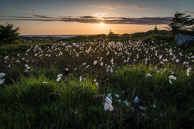 Cottongrass in sunset