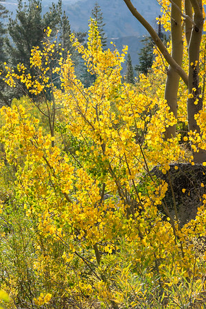 Deadman Creek Morning Fall Colors - Sonora Pass-13
