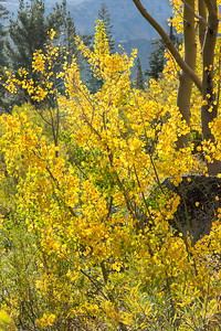 Deadman Creek Morning Fall Colors - Sonora Pass-13