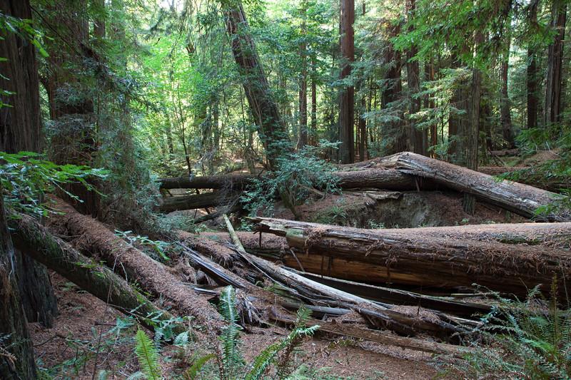 Fallen Redwoods