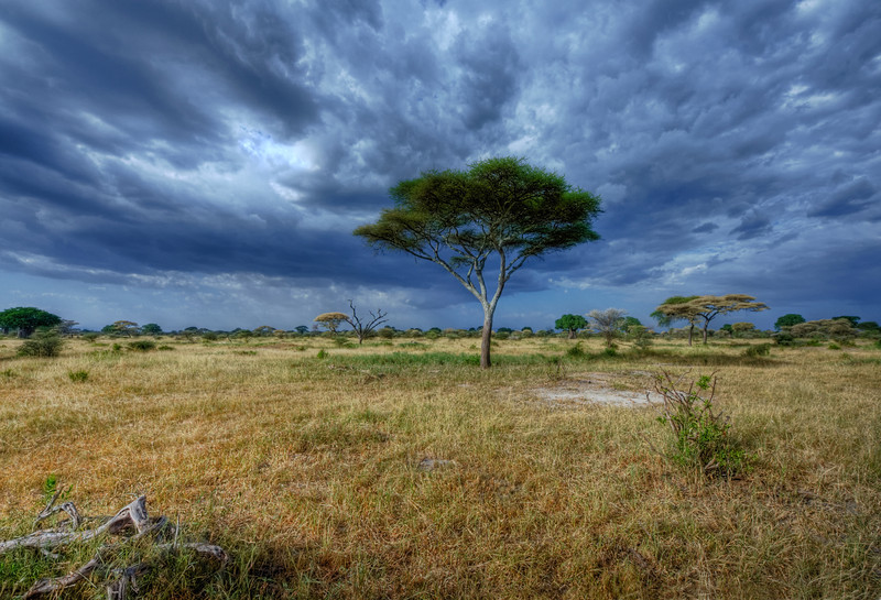 Stormy Sky over Acacia Tree in Tarangire National Park, Tanzania