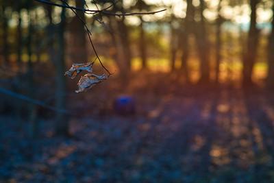 Hanging Leaf in Winter
