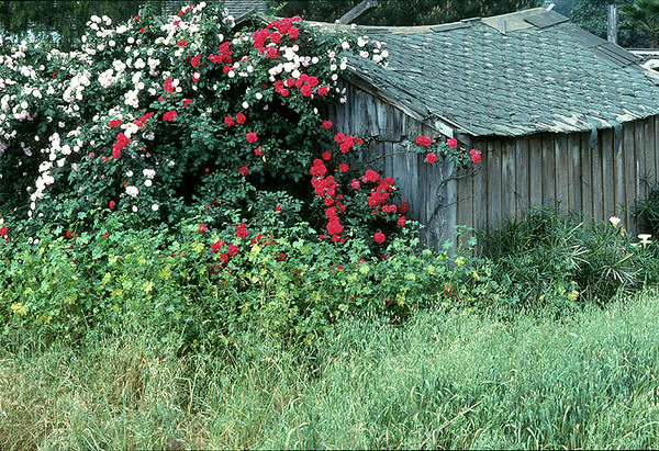 Roses, San Marcos, Ca