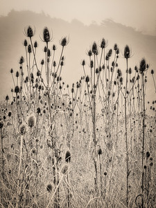 Indian Teasel, Study 1, Gualala, CA