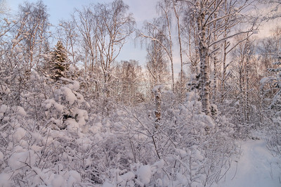 Snowy forest in sunset light