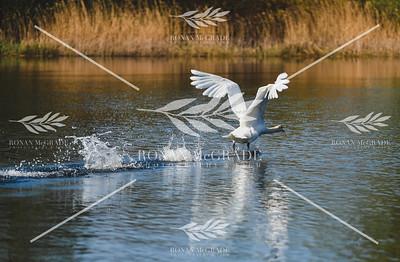 Swan taking flight