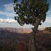 Juniper, Grand Canyon