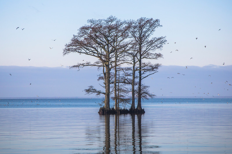 Seagulls and Cypress trees
