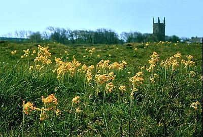 36  Cowslips, Cornwall