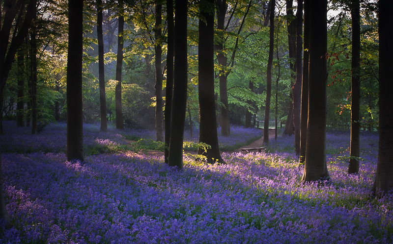 Bluebell wood dawn