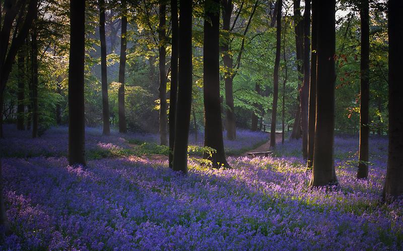 Bluebell wood dawn