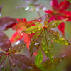 Day #299 - Fall Maple Raindrops