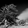 Juniper in the White Mountains