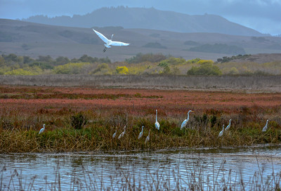 Great & Common  Egrets at the South end of Tomales Bay.