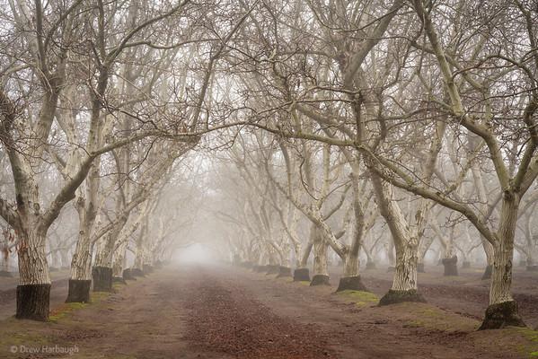 Fog and Graft Lines, Walnut Grove
