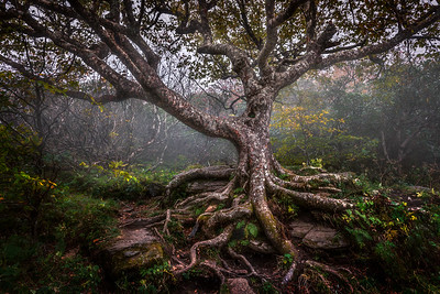 Craggy Tree