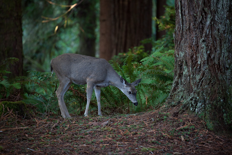 Deer in the Redwoods
