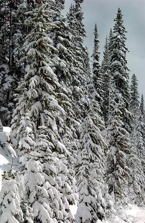 Roadside Pines in an early snowfall.  Rawah, Colorado