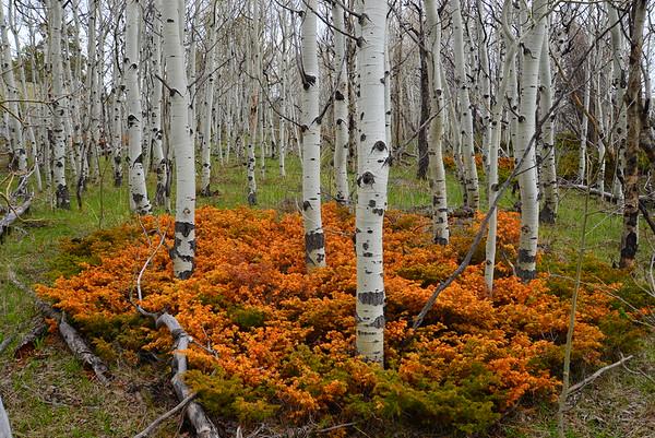 Spring, Aspen Grove