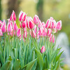 Pink Tulips at Brookgreen Gardens, Murrells Inlet, SC