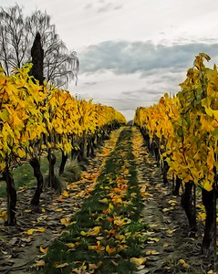 Vineyards of Yellow
