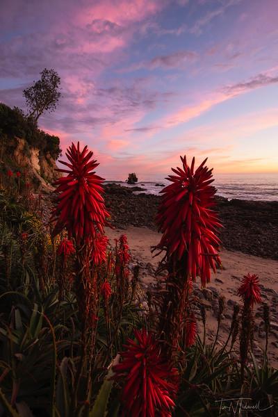 Cape Aloe and Sunset