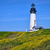 Yaquina Head Lighthouse with yellow wildflowers near Newport, Oregon