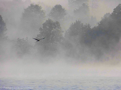 blue heron flying across lake-2011