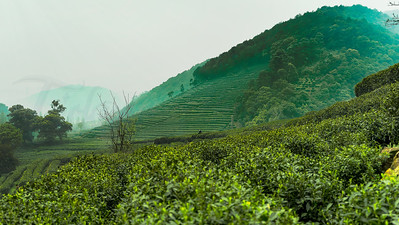 Longjing Village - Dragon Well Tea Plantation