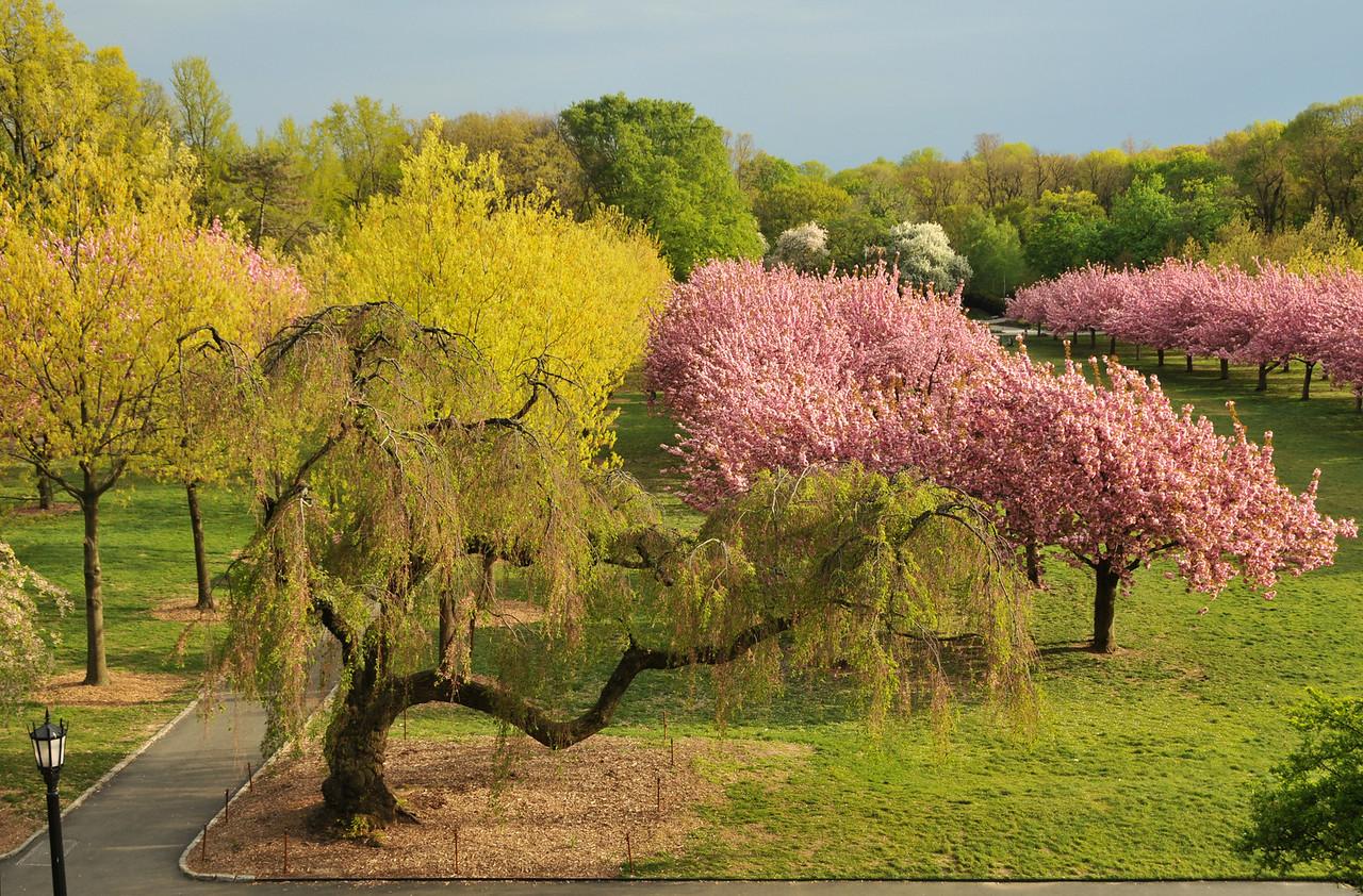 Cherry Esplanade In Bloom