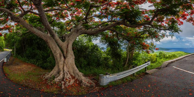 Flamboyant Tree at Drake's Seat, St Thomas USVI