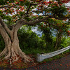 Flamboyant Tree at Drake's Seat, St Thomas USVI
