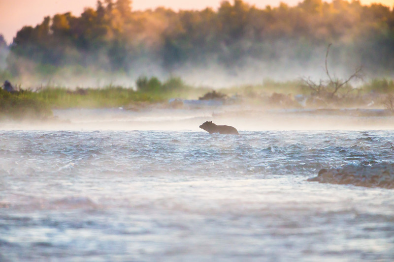 A Black Bear Crosses the Snake River at Dawn. Jackson Hole, Wyoming