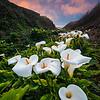 Lilies Strange Year
