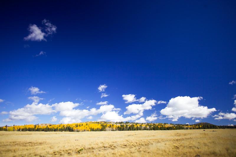 Aspen in late Fall outside Greer, AZ near Sunrise Ski Resort