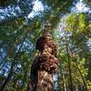 Burls on Redwood