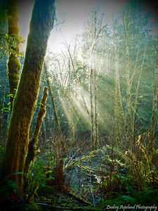 Sunlight streams through the trees at the Elk Creek Conservation Area in Forks