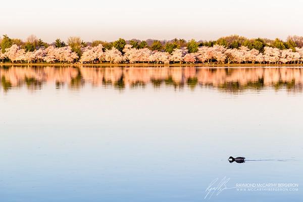 Tidal Basin || Washington, D.C., USA  Canon EOS 6D w/ EF100mm f/2.8L Macro IS USM: 100mm @ ¹⁄₄₀₀ sec, f/5.6, ISO 100