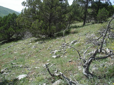 Open Juniper forest