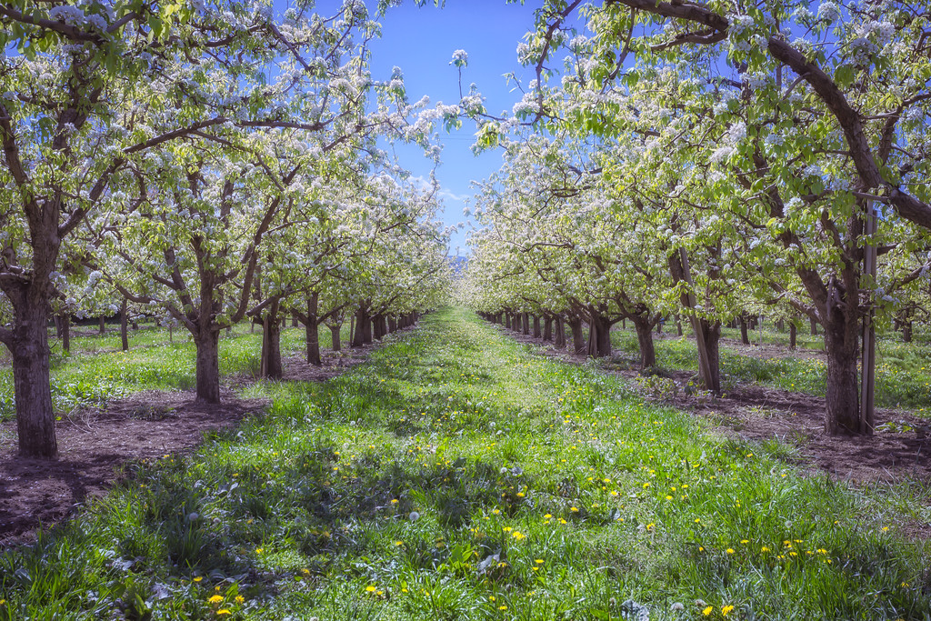 Spring time in the pear orchard.