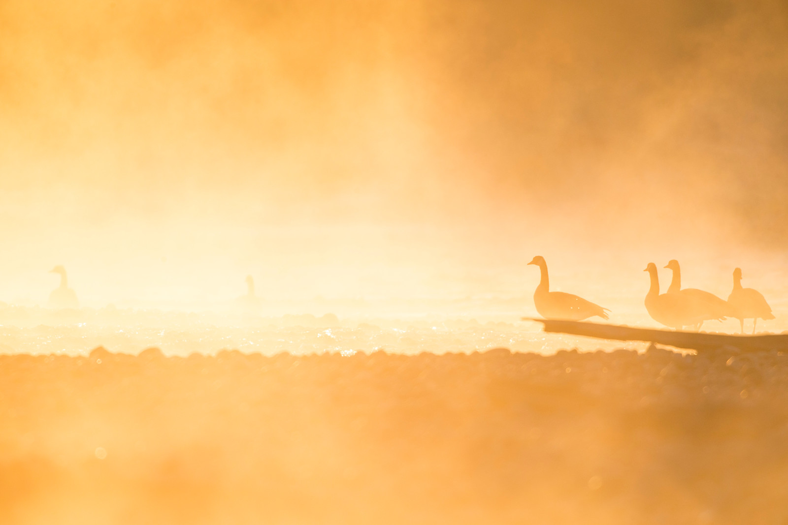 Canadian Geese Wander Through Mist at Sunrise on the Snake River, Jackson Hole Wyoming