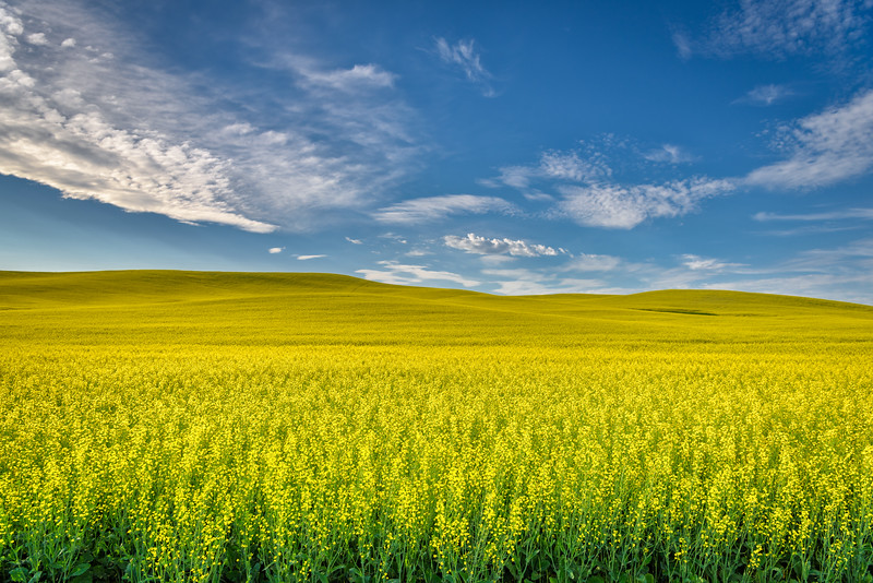 Canola Fields near Palouse, Washington State