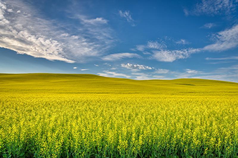 Canola Fields near Palouse, Washington State