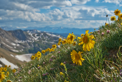 Alpine Sunflowers 2