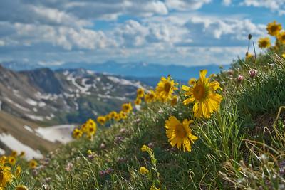 Alpine Sunflowers 2