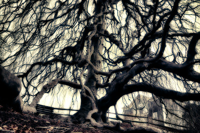 ancient weeping beech tree