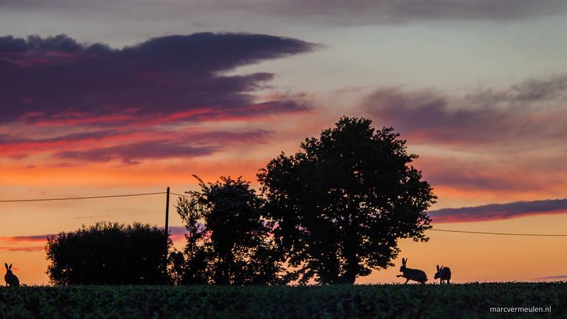 Rabbits enjoying sunset in Normandie