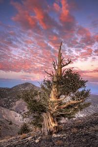 Ancient Bristlecone @ Sunset, California