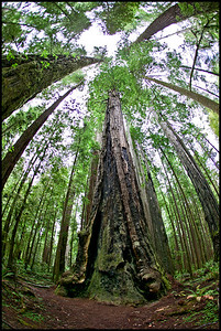 Giant Redwood  Redwood forest outside Crescent City, California.  Canon 1Ds MK I Canon EF 15mm f/2.8 Fisheye