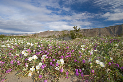 Wildflowers, Borrego State Park, Ca